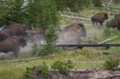 Running bison heard — Stock Photo