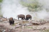Bison spa day — Stock Photo