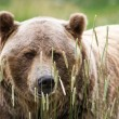 Grizzly bear  — Stock Photo #54259353