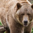 Grizzly bear  — Stock Photo #54260249