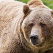 Grizzly bear  — Stock Photo #54260493