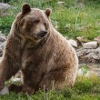 Grizzly bear  — Stock Photo #54260979