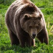 Grizzly bear  — Stock Photo #54261607