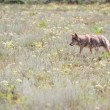 Wild coyote — Stock Photo #54268067