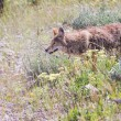Wild coyote — Stock Photo #54268459