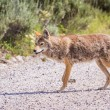 Wild coyote — Stock Photo #54268709