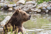 Orso grizzly — Foto Stock