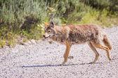 Wild coyote — Stock Photo