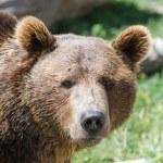 Grizzly portrait — Stock Photo #54470939