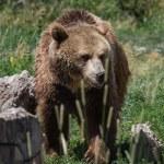 Grizzly portrait — Stock Photo #54471629