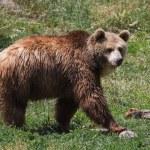 Grizzly portrait — Stock Photo #54472271