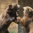 Dominant grizzly bears — Stock Photo #54472499