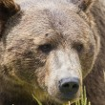 Grizzly portrait — Stock Photo #54472767