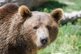 Grizzly portrait — Stock Photo