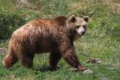 Grizzly portret — Stockfoto