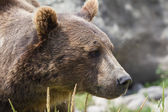 Grizzly porträt — Stockfoto