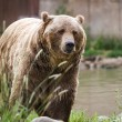 Grizzly bear  — Stock Photo #55124153