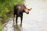 Young male moose  — Stock Photo