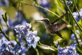Hummingbird in flowers — Stock Photo
