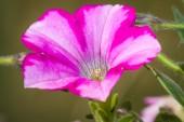 Petunia garden — Stock Photo