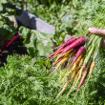 Organic carrots — Stock Photo #55740629