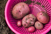 Home grown potatoes — Stok fotoğraf