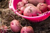 Home grown potatoes — Foto Stock