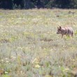 Wild coyote — Stock Photo #55826639
