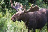 Male moose  — Stock Photo