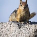 Curious chipmunk — Stock Photo #56077269