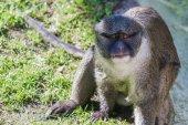 Allen's swamp monkey — Stock Photo