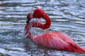 American Flamingo - phoenicopterus ruber — Stock Photo