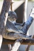 树袋熊-袋 — 图库照片