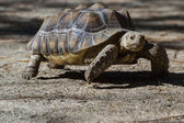 Spurred Tortoise - Geochelone sulcat — Stock Photo