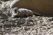 Warthog - phacochoerus africanus — Stock Photo