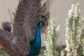 Female peacock — Stock Photo
