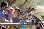 Hand feeding a giraffe  — Stock Photo