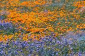 California Poppies -Eschscholzia californica — Stock Photo