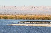 Eared Grebes, Salton Sea, California — Stock Photo