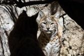 Bobcat - Lynx rufus — Stock Photo