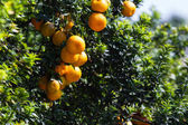 California Oranges  — Stock Photo