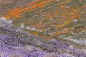 California Poppies -Eschscholzia californica — Stock Photo