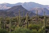 Saguaro Cactus — Stockfoto