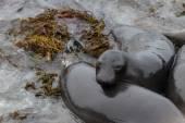 Elephant Seal - (Mirounga angustirostris) — Stock Photo