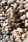 Dead seal in California — Stock Photo