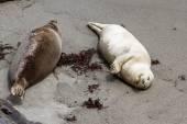 Earless seal — Stock Photo