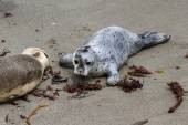 Two day old seal pup — Stock Photo