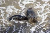 Baby seal and his mother — Stock Photo