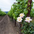 Vineyard with roses — Stock Photo #79969224