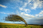 Windblown tree — Stock Photo